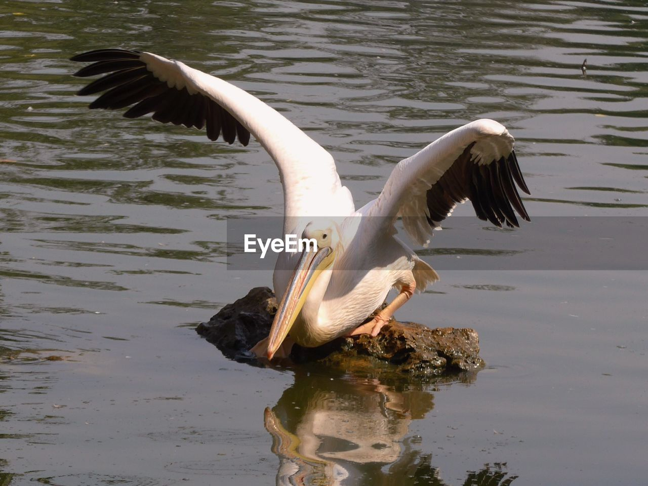 bird, animals in the wild, animal themes, one animal, water, lake, animal wildlife, spread wings, day, nature, beak, no people, outdoors, pelican, swan, close-up