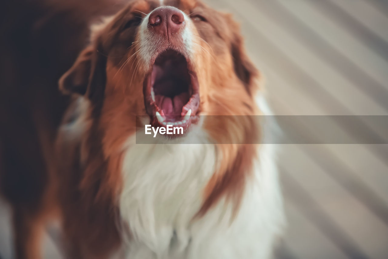 CLOSE-UP OF A RELAXED DOG YAWNING