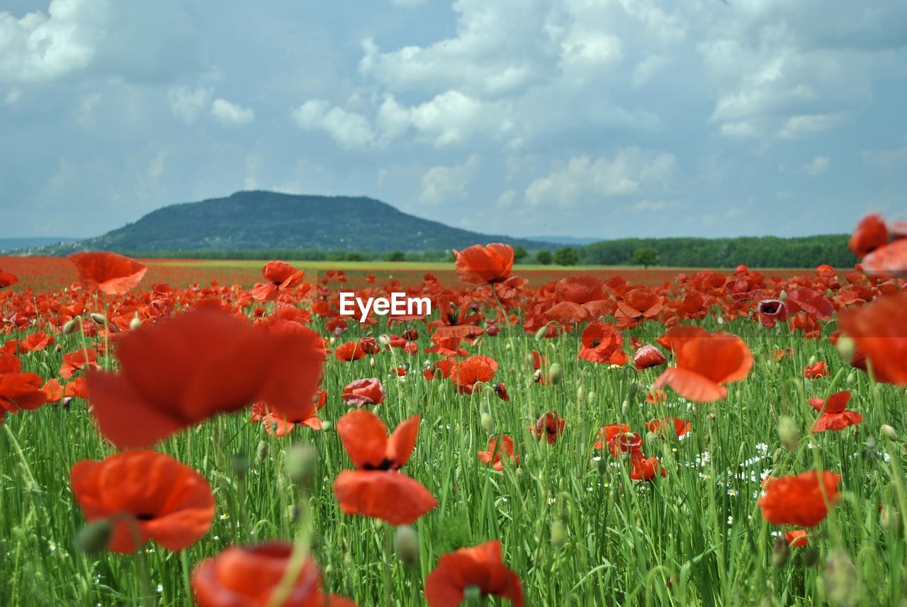 plant, beauty in nature, flower, flowering plant, growth, field, sky, landscape, land, freshness, red, cloud - sky, vulnerability, fragility, environment, rural scene, nature, no people, flower head, tranquility, poppy, outdoors, flowerbed