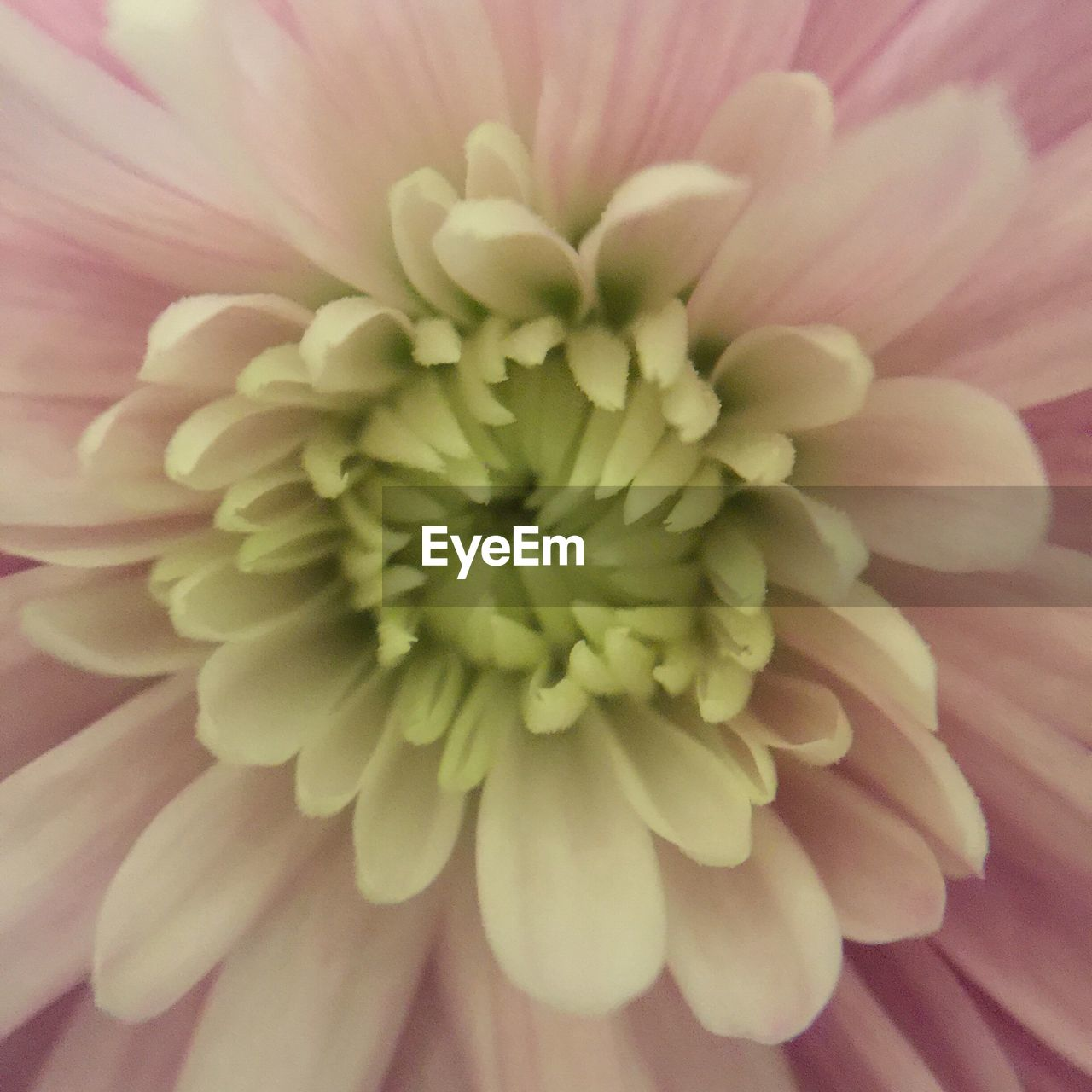 flower, petal, beauty in nature, fragility, flower head, freshness, nature, growth, close-up, pollen, plant, no people, backgrounds, selective focus, full frame, blooming, day, dahlia, springtime, outdoors