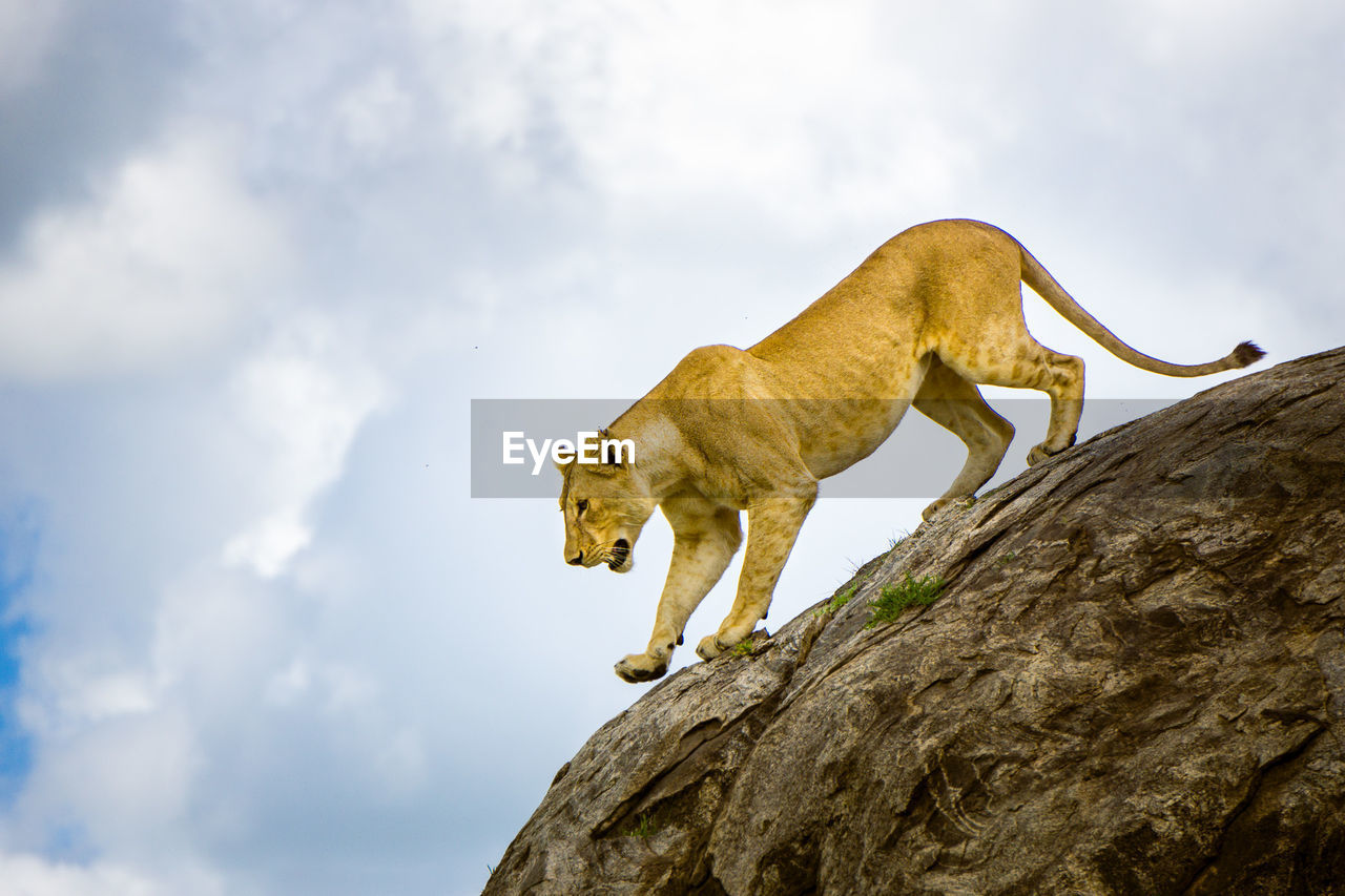Low angle view of lioness on rock at serengeti national park
