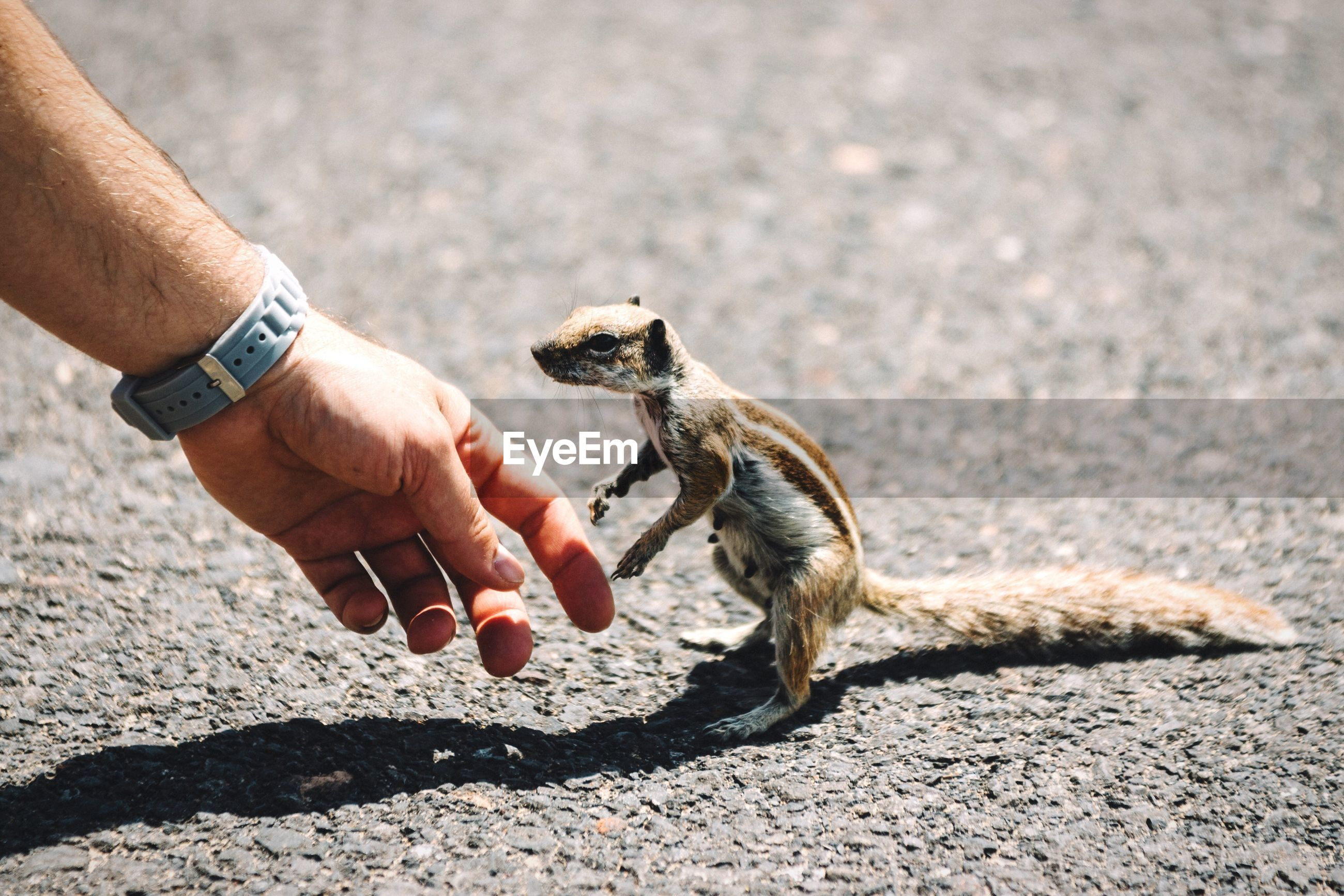 Cropped hand by squirrel on road during sunny day