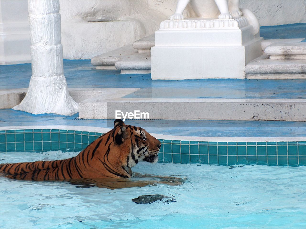Side View Of A Tiger In Swimming Pool
