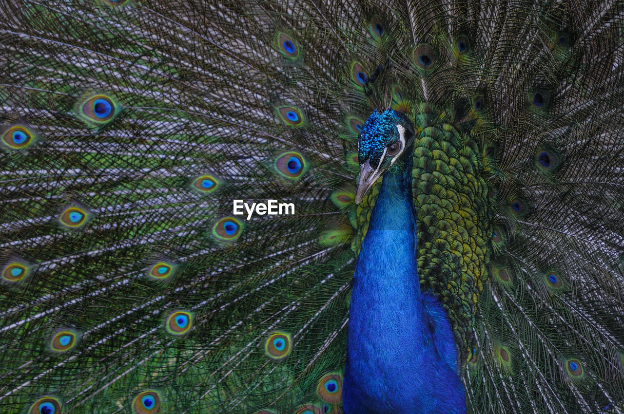 peacock, animal, bird, animal themes, one animal, vertebrate, animal wildlife, feather, peacock feather, animals in the wild, fanned out, close-up, no people, animal body part, beauty in nature, animal head, blue, male animal, full frame, day, outdoors, animal eye