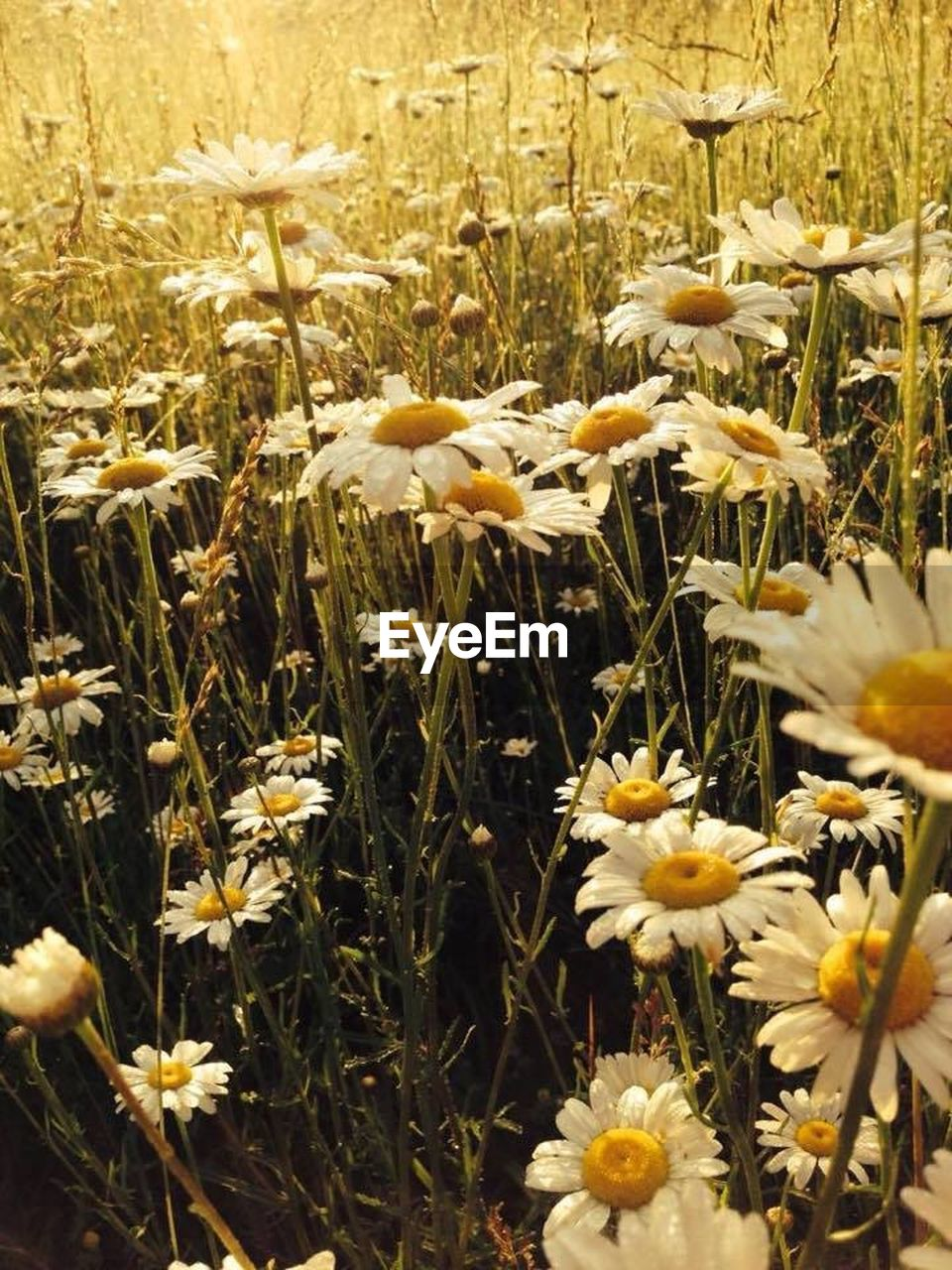 flower, growth, nature, plant, field, delicate, beauty in nature, yellow, grass, freshness, petal, spring, summer, no people, outdoors, flower head, fragility, blooming, poppy, day, close-up