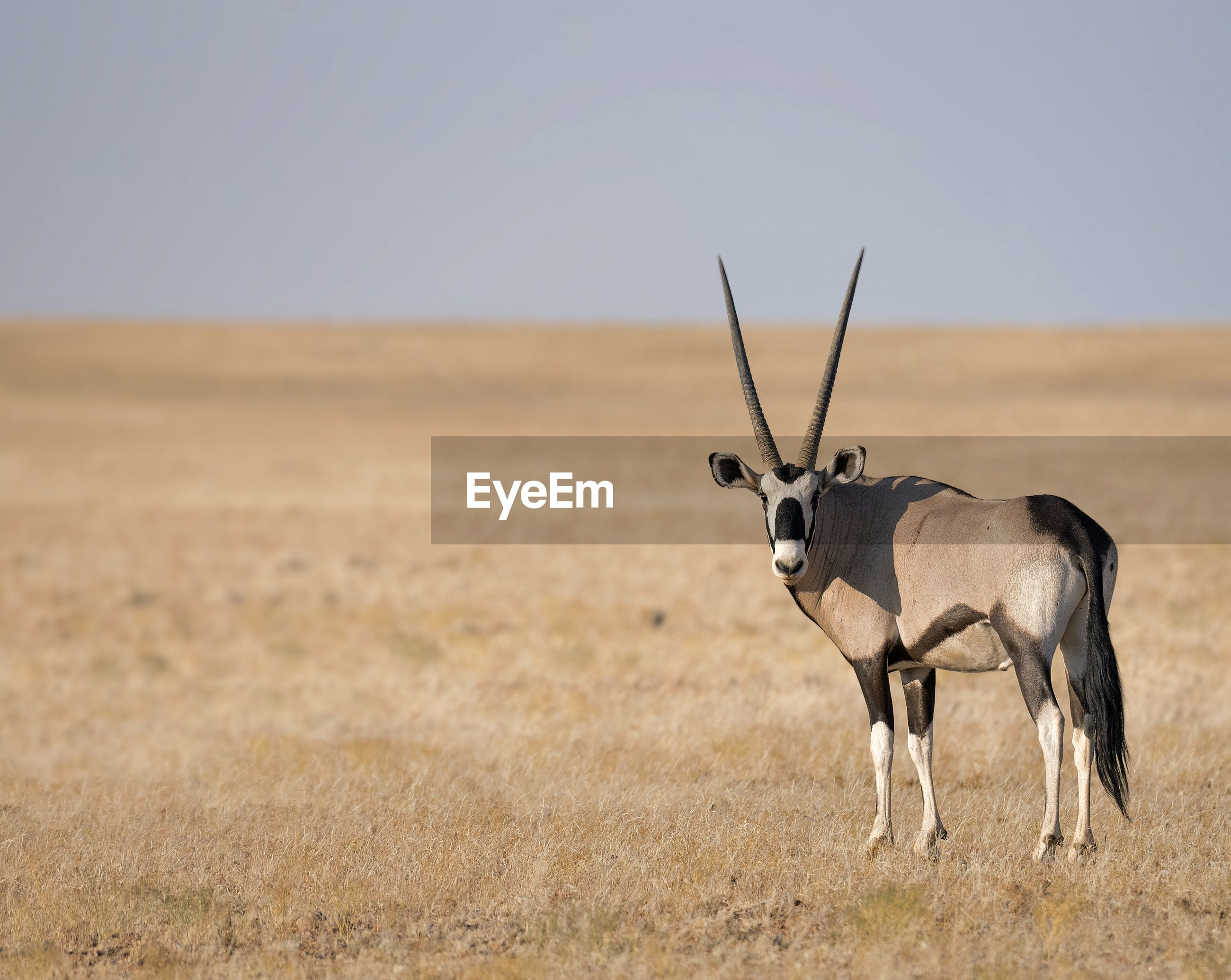 Portrait of gemsbok standing on field against sky