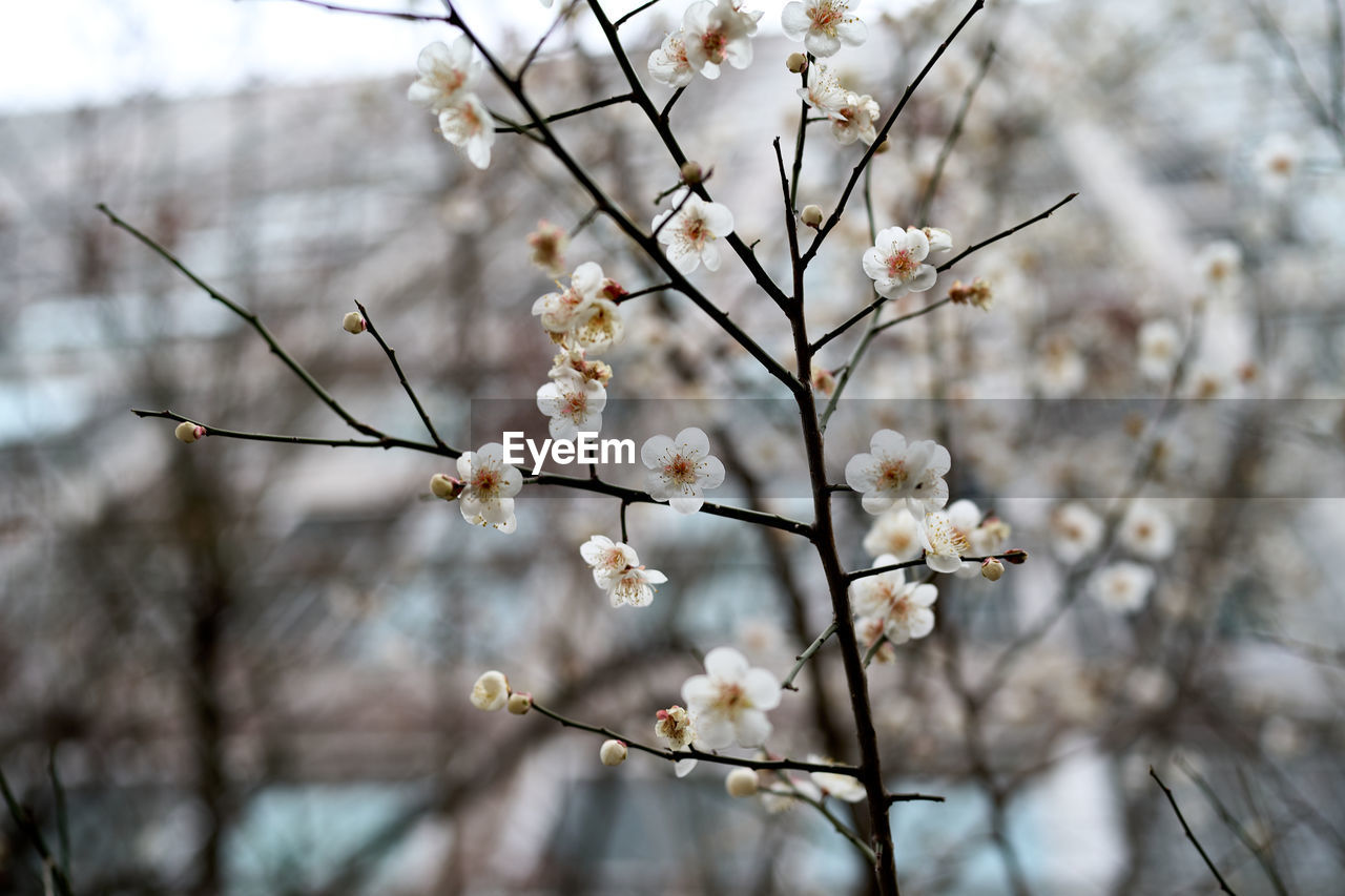LOW ANGLE VIEW OF CHERRY BLOSSOM ON BRANCH