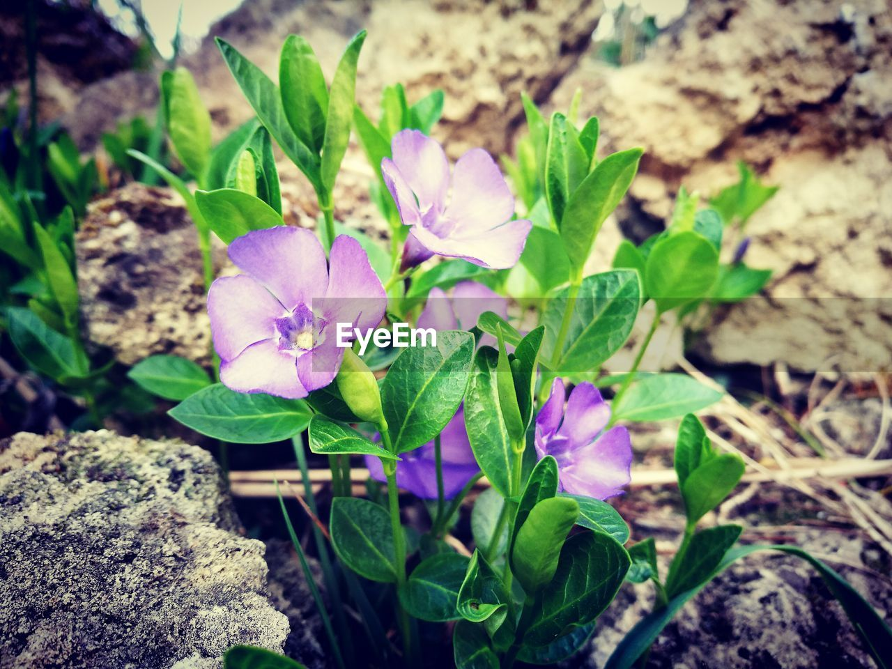 flower, beauty in nature, nature, growth, plant, fragility, freshness, petal, leaf, flower head, outdoors, green color, day, no people, high angle view, purple, field, blooming, close-up, periwinkle, crocus