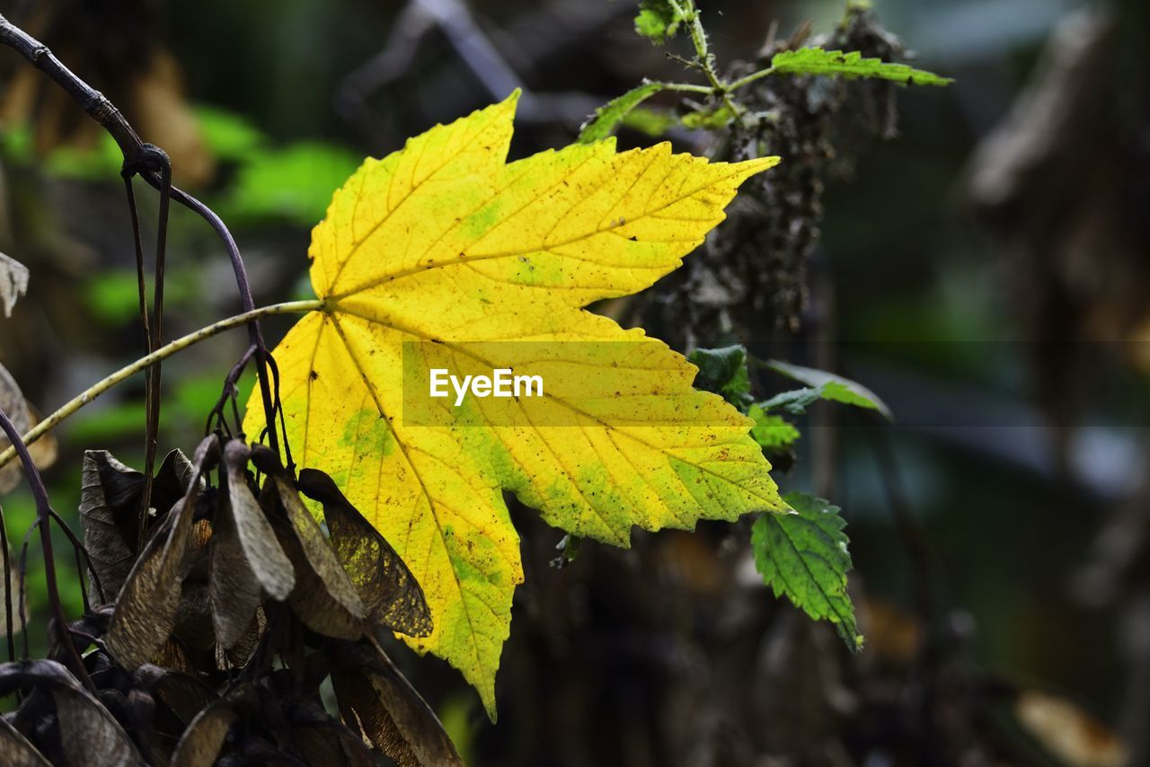 plant part, leaf, autumn, close-up, focus on foreground, change, plant, nature, yellow, day, no people, beauty in nature, leaf vein, outdoors, growth, maple leaf, vulnerability, fragility, tree, leaves, natural condition