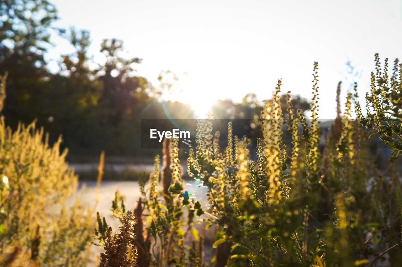 plant, growth, beauty in nature, tranquility, sunlight, sky, nature, day, no people, tree, outdoors, land, tranquil scene, selective focus, vulnerability, close-up, field, fragility, flower, focus on foreground, bright