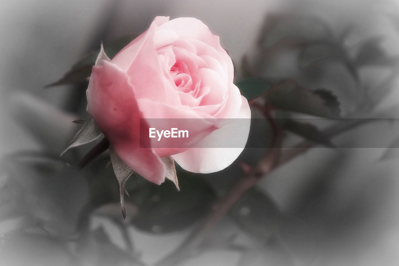 flower, petal, rose - flower, fragility, pink color, flower head, nature, growth, close-up, beauty in nature, freshness, plant, no people, blooming, outdoors, day