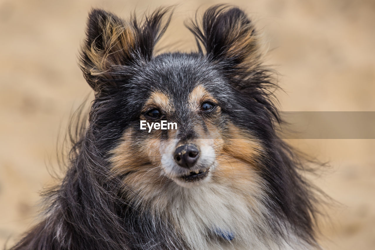 Close-up portrait of shetland sheepdog