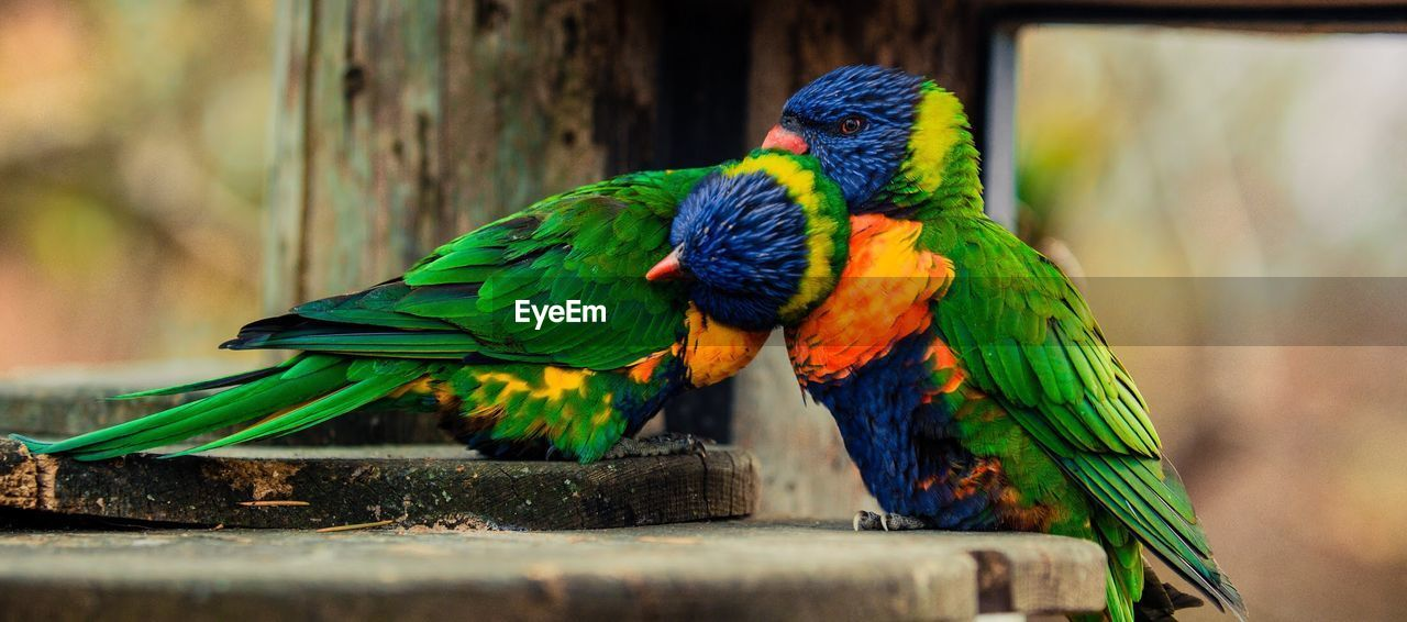 animal themes, animal, vertebrate, bird, parrot, animal wildlife, animals in the wild, rainbow lorikeet, perching, group of animals, two animals, day, wood - material, close-up, focus on foreground, no people, multi colored, outdoors, nature