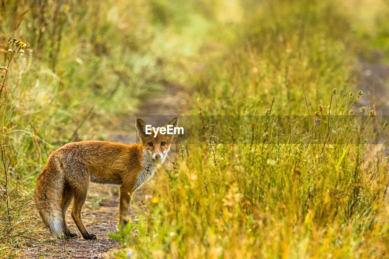 animal themes, one animal, animal, mammal, grass, plant, nature, no people, land, animal wildlife, vertebrate, selective focus, pets, animals in the wild, domestic, fox, domestic animals, day, field, outdoors, stealth