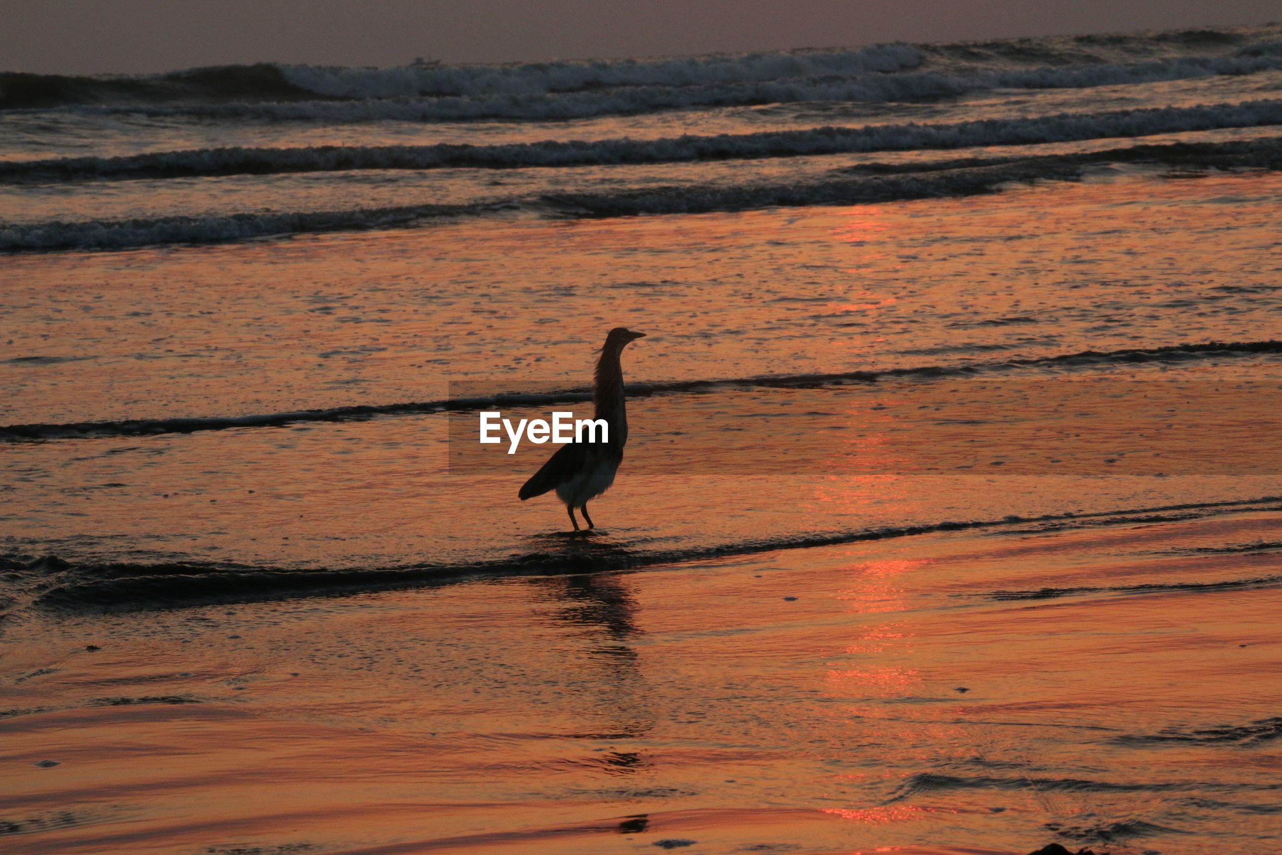 Bird on lake during sunset