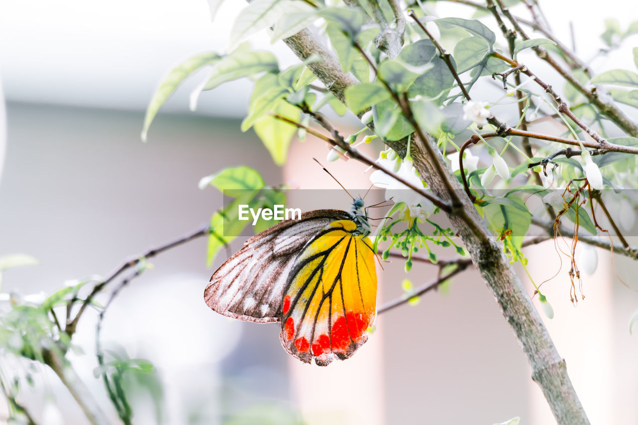 one animal, animals in the wild, animal wildlife, animal themes, animal, focus on foreground, insect, invertebrate, animal wing, beauty in nature, plant, butterfly - insect, close-up, day, no people, flower, branch, tree, nature, animal body part, outdoors, pollination, butterfly