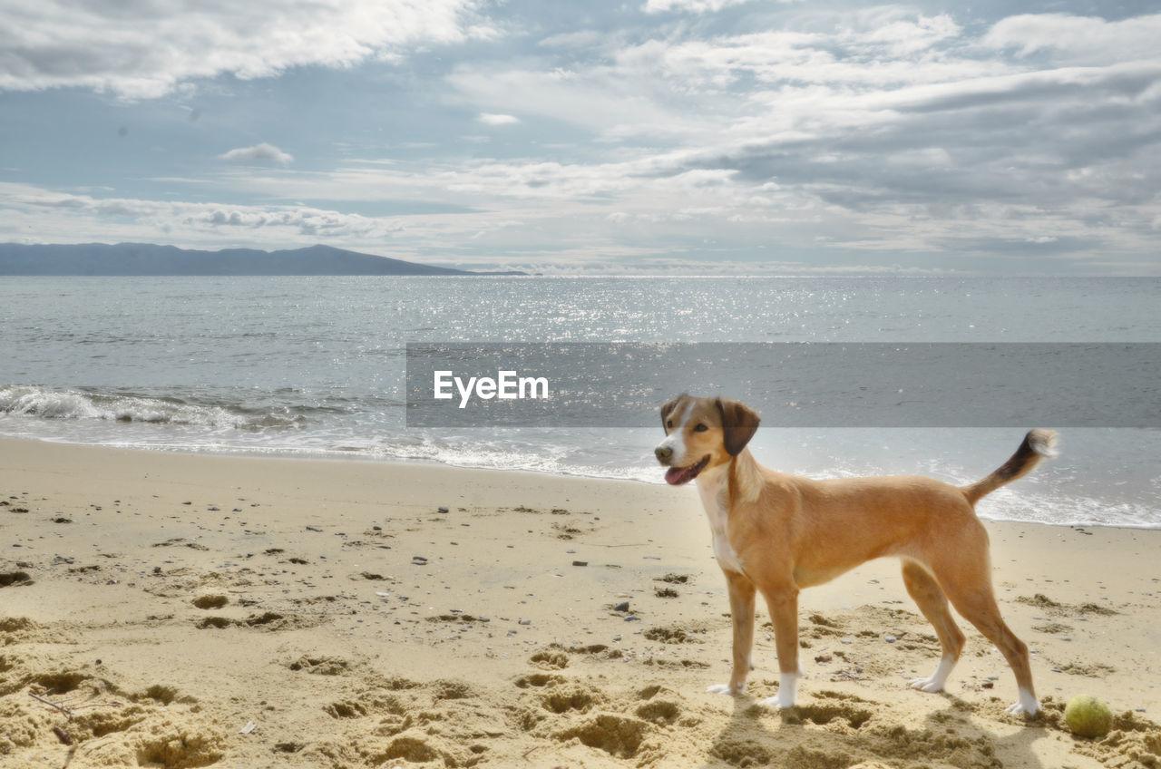 one animal, canine, dog, beach, mammal, sea, domestic, domestic animals, pets, animal, animal themes, land, water, sky, cloud - sky, vertebrate, horizon, horizon over water, beauty in nature, no people