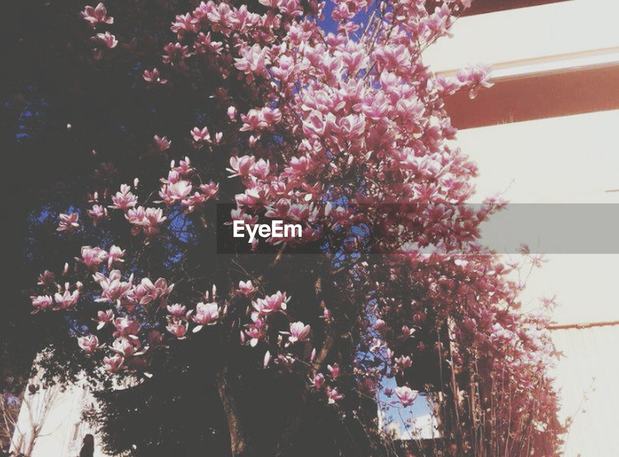 tree, flower, growth, low angle view, branch, beauty in nature, nature, freshness, pink color, outdoors, no people, day, tranquility, plant, in bloom, sunlight, blossom, park - man made space, sky, fragility