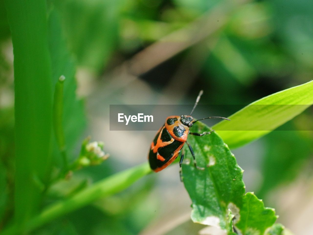 invertebrate, insect, animals in the wild, animal wildlife, animal themes, one animal, animal, plant part, green color, leaf, plant, close-up, beetle, ladybug, day, nature, growth, focus on foreground, beauty in nature, selective focus, no people, small