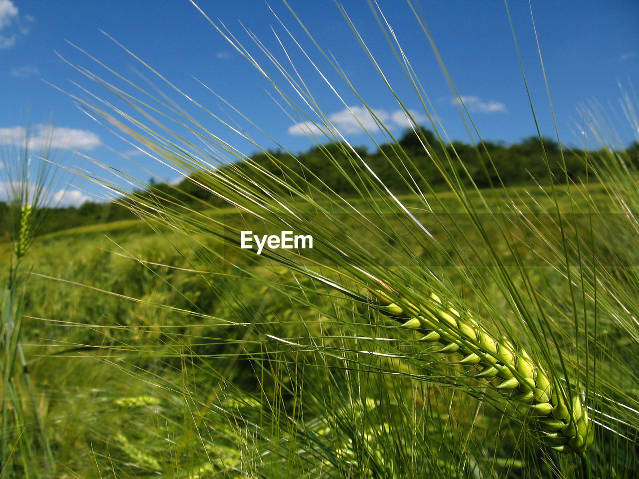 growth, nature, no people, field, grass, day, close-up, agriculture, beauty in nature, green color, outdoors, plant, tranquility, ear of wheat, sky, cereal plant, wheat, clear sky, freshness