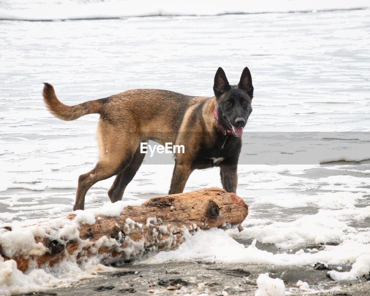 Dog on beach by sea