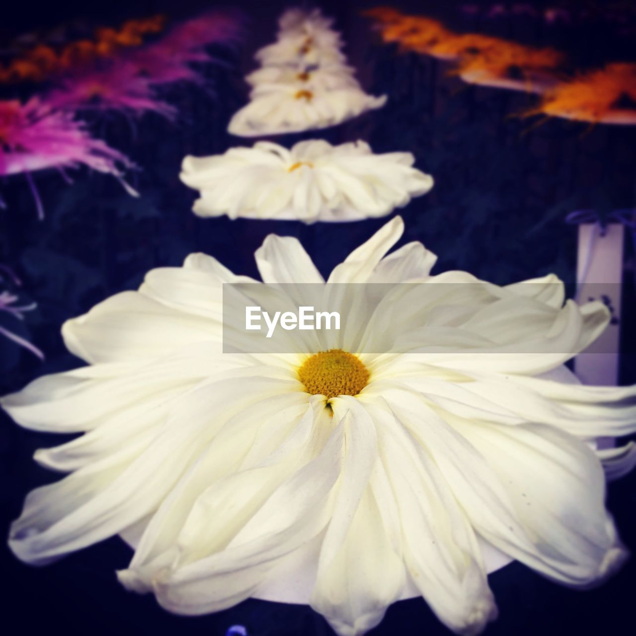 flower, petal, flower head, fragility, beauty in nature, nature, white color, freshness, pollen, close-up, blooming, no people, yellow, growth, plant, outdoors, day
