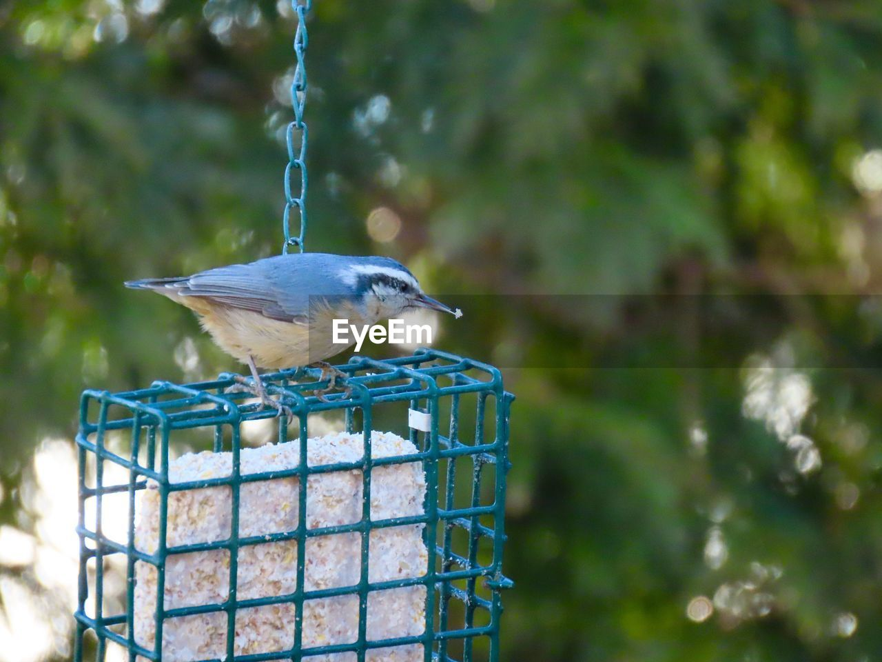bird, animal wildlife, animal, vertebrate, animals in the wild, animal themes, one animal, perching, bird feeder, focus on foreground, no people, day, nature, outdoors, metal, hanging, selective focus, close-up, bluetit