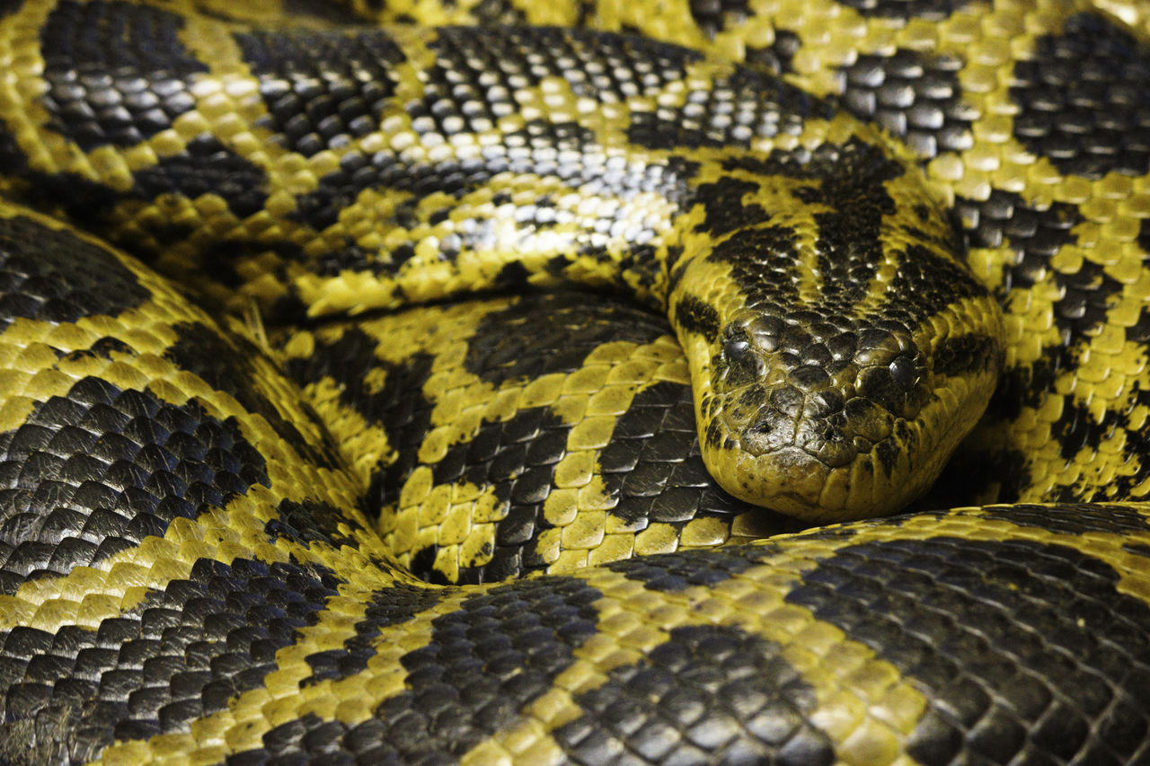 reptile, snake, one animal, animal themes, animal, animal wildlife, animals in the wild, vertebrate, animal body part, animal scale, close-up, curled up, sign, no people, animal markings, warning sign, communication, pattern, natural pattern, full frame, animal head, poisonous, zoo