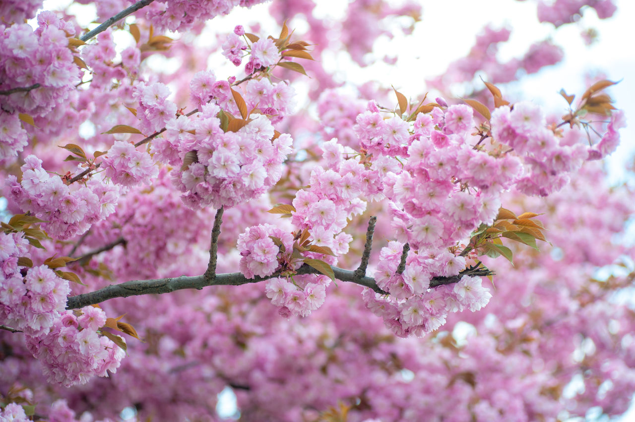 flower, pink color, fragility, blossom, cherry blossom, springtime, beauty in nature, growth, freshness, cherry tree, tree, nature, branch, botany, no people, petal, day, close-up, selective focus, twig, low angle view, outdoors, backgrounds, flower head