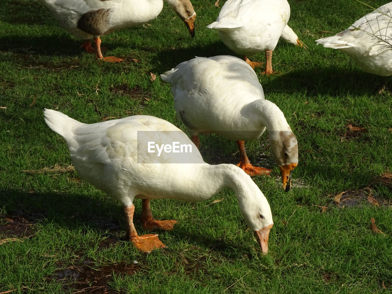 group of animals, animal, animal themes, bird, vertebrate, grass, land, animals in the wild, field, animal wildlife, nature, no people, plant, white color, day, goose, green color, medium group of animals, domestic animals, livestock