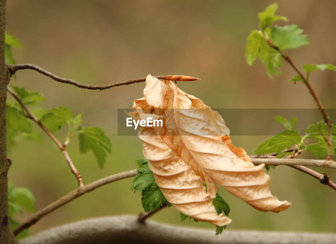 CLOSE-UP OF DRIED LEAVE ON BRANCH