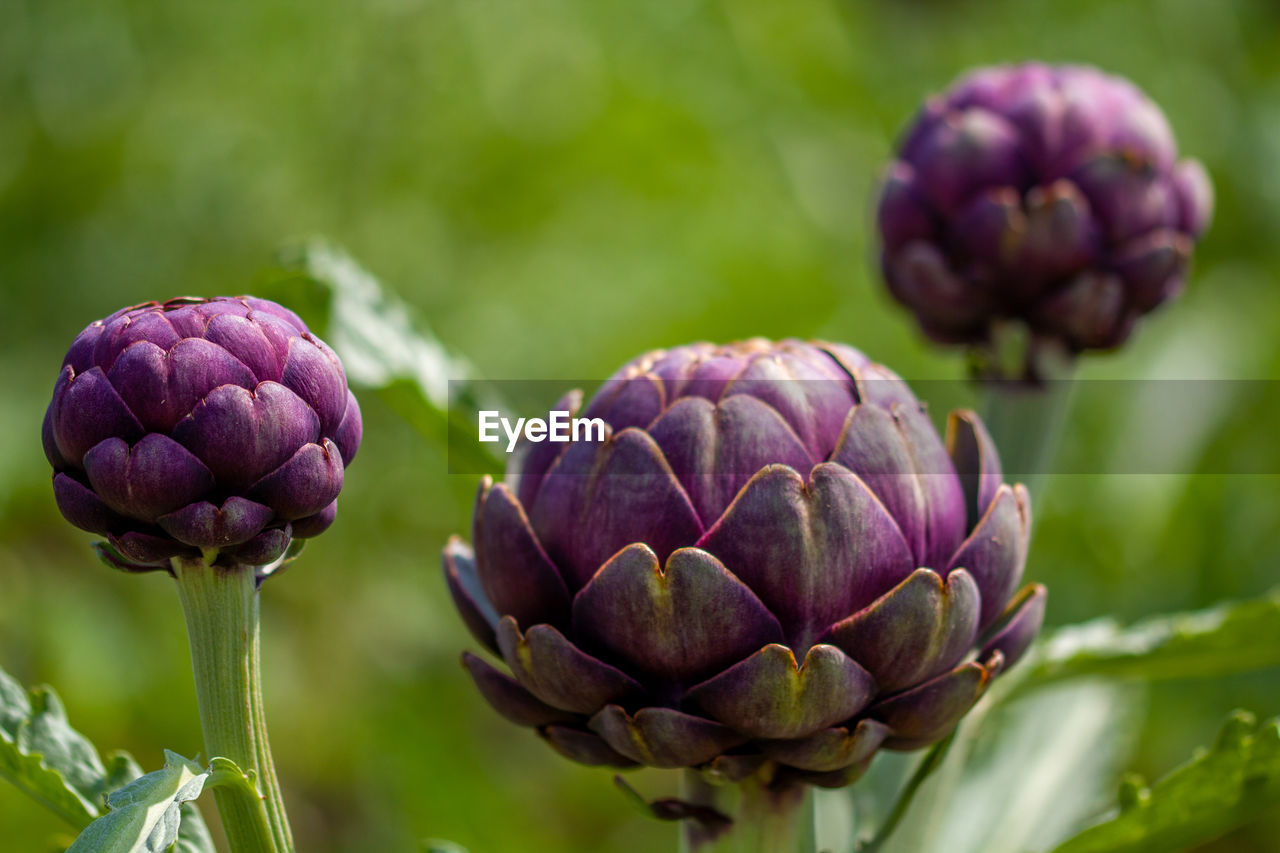 CLOSE-UP OF PURPLE BUDS ON PLANT