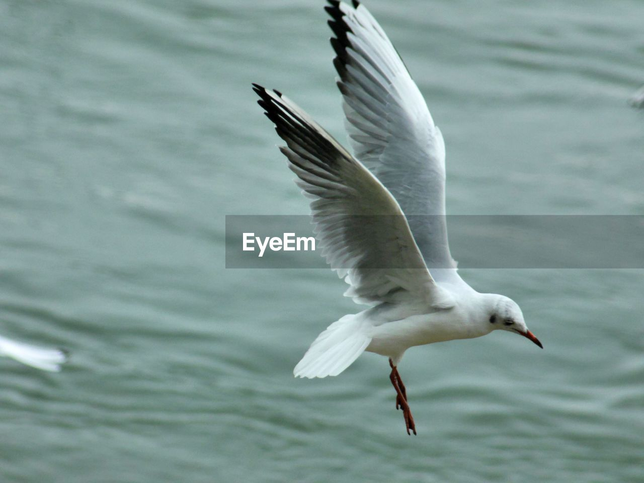 animal themes, flying, animal wildlife, animal, animals in the wild, spread wings, bird, vertebrate, one animal, water, sea, mid-air, no people, motion, seagull, nature, focus on foreground, day, white color