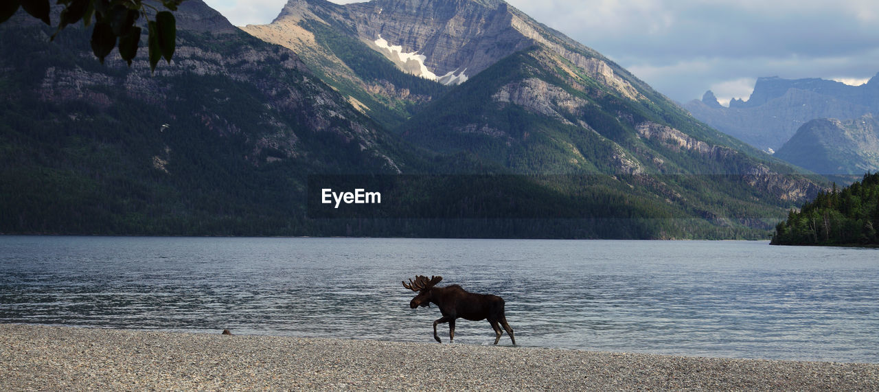 Moose On Riverbank Against Mountain