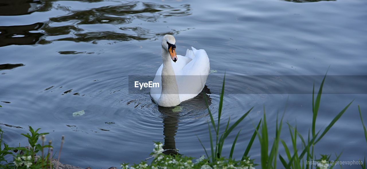 vertebrate, lake, animal wildlife, water, animal, animals in the wild, bird, animal themes, swan, white color, swimming, one animal, no people, nature, day, water bird, waterfront, beauty in nature, zoology, cygnet