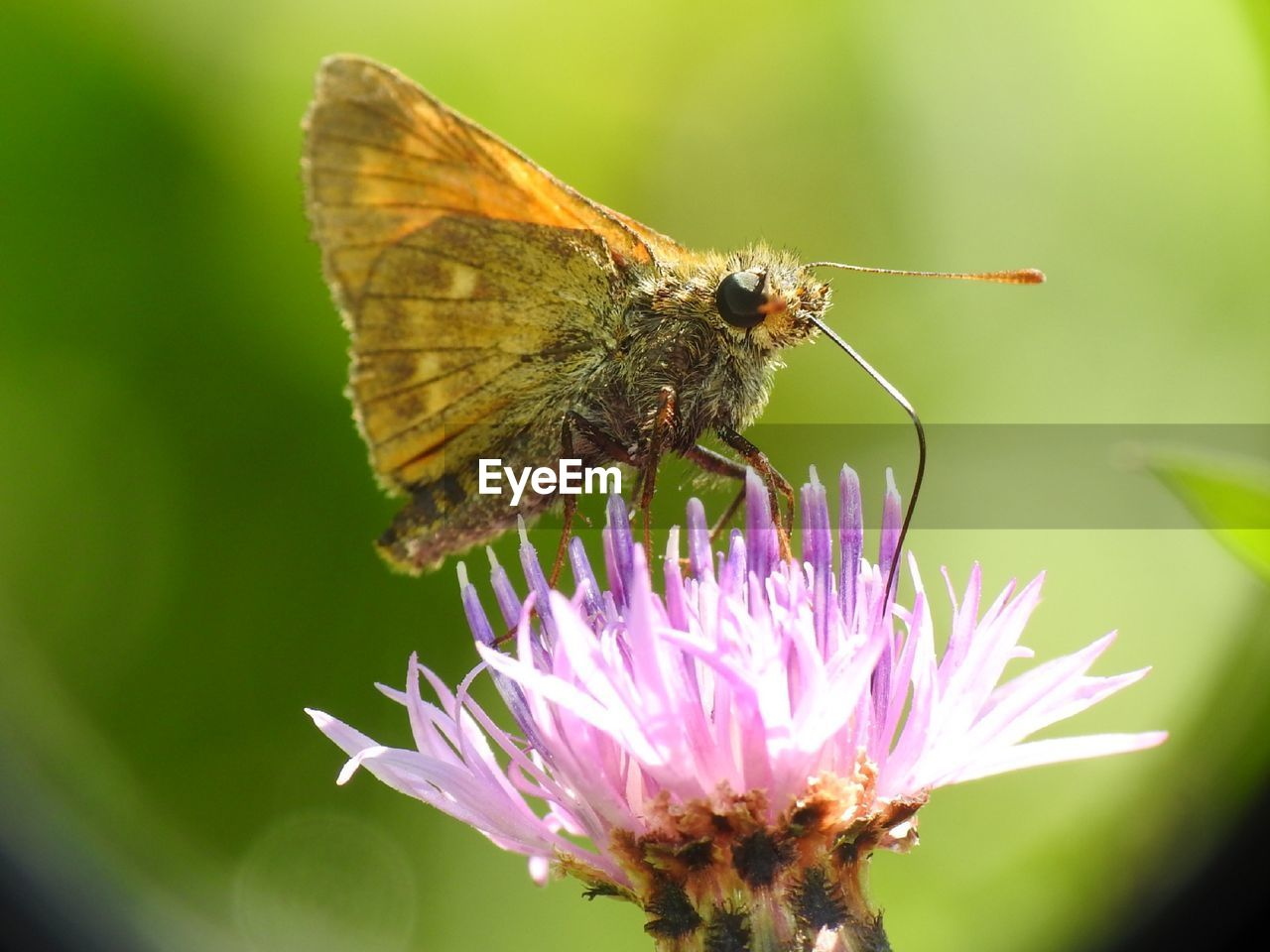 flower, invertebrate, flowering plant, insect, one animal, animal themes, animal, animals in the wild, animal wildlife, vulnerability, fragility, beauty in nature, plant, close-up, petal, flower head, animal wing, freshness, pollination, growth, no people, butterfly - insect, pink color, butterfly