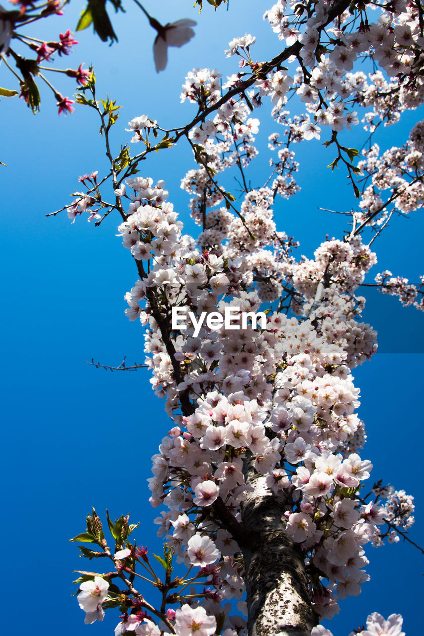flower, fragility, blossom, tree, cherry blossom, springtime, growth, beauty in nature, low angle view, apple blossom, nature, freshness, cherry tree, branch, apple tree, day, botany, clear sky, no people, white color, orchard, magnolia, outdoors, petal, pink color, blue, close-up, sunlight, sky, flower head, blooming