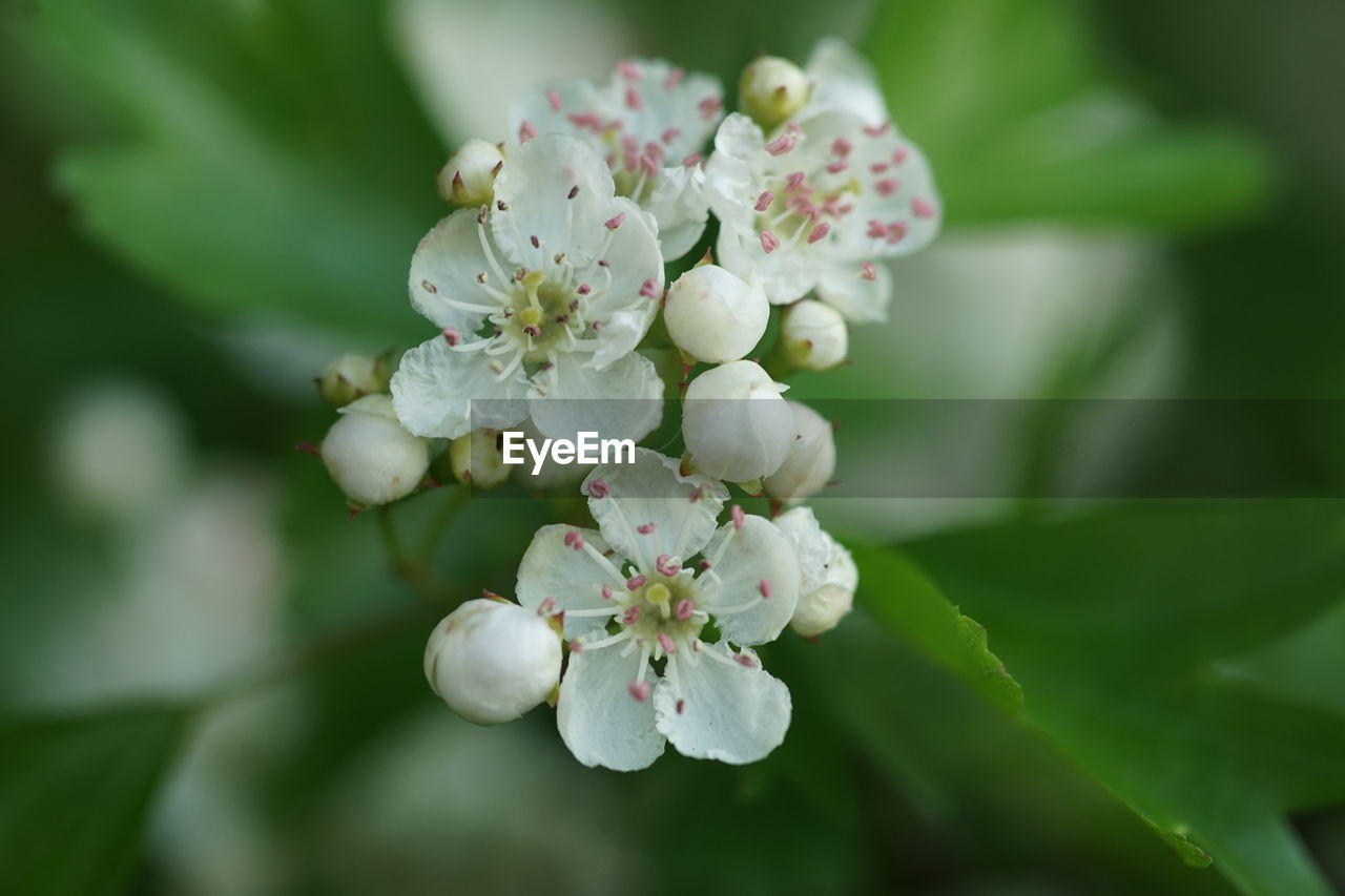 flower, plant, fragility, growth, beauty in nature, freshness, vulnerability, flowering plant, close-up, petal, day, selective focus, nature, inflorescence, flower head, white color, plant part, botany, tree, blossom, no people, springtime, outdoors, pollen, bunch of flowers, cherry blossom