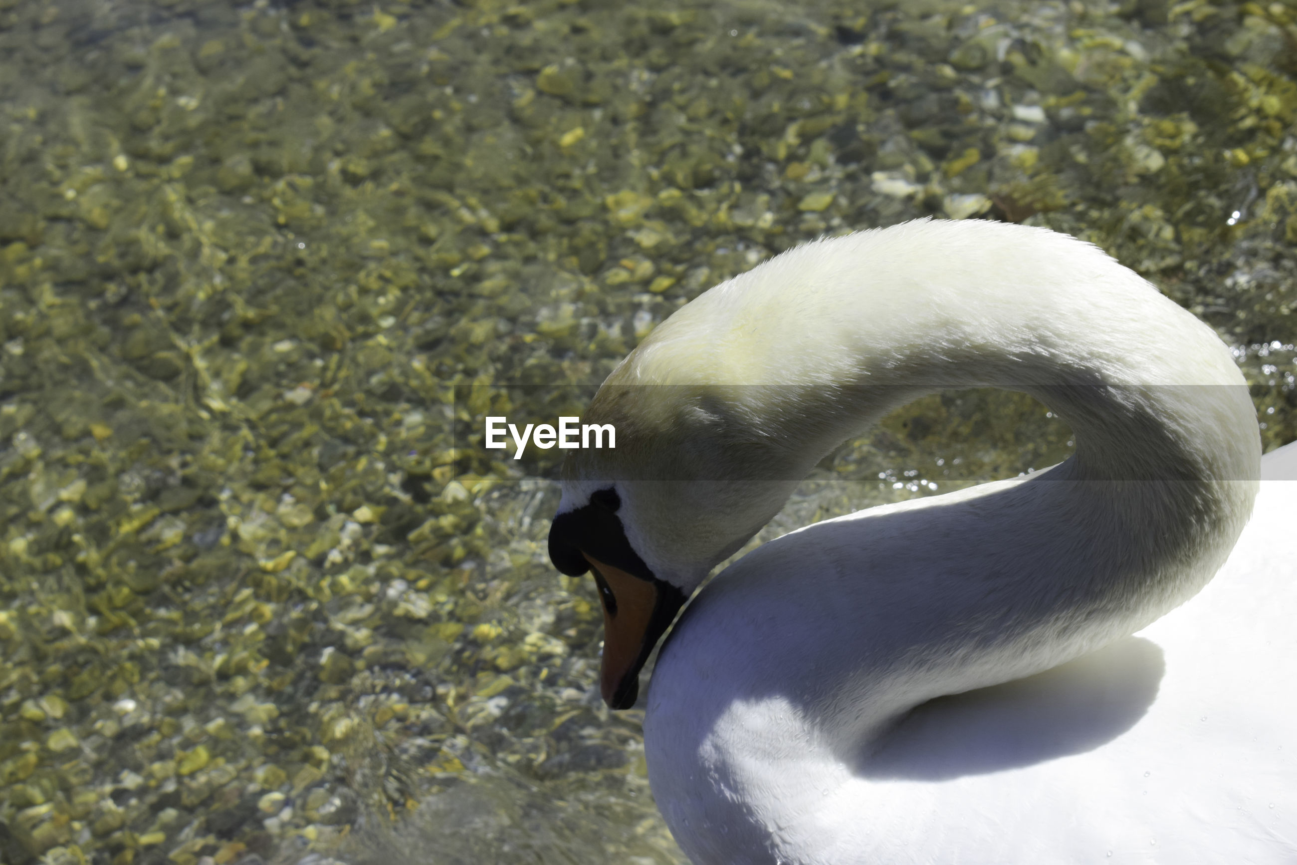 CLOSE-UP OF A SWAN
