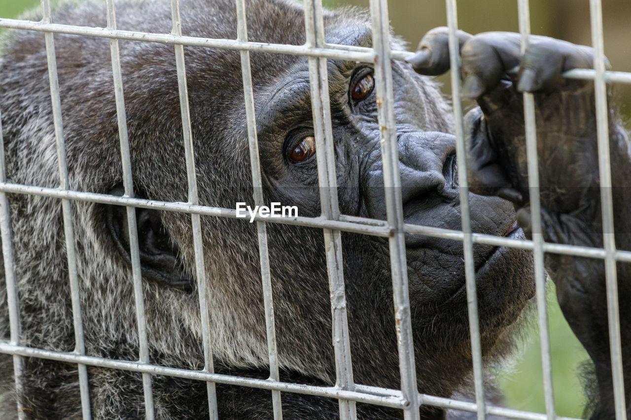 Close-up of portrait of gorilla in cage
