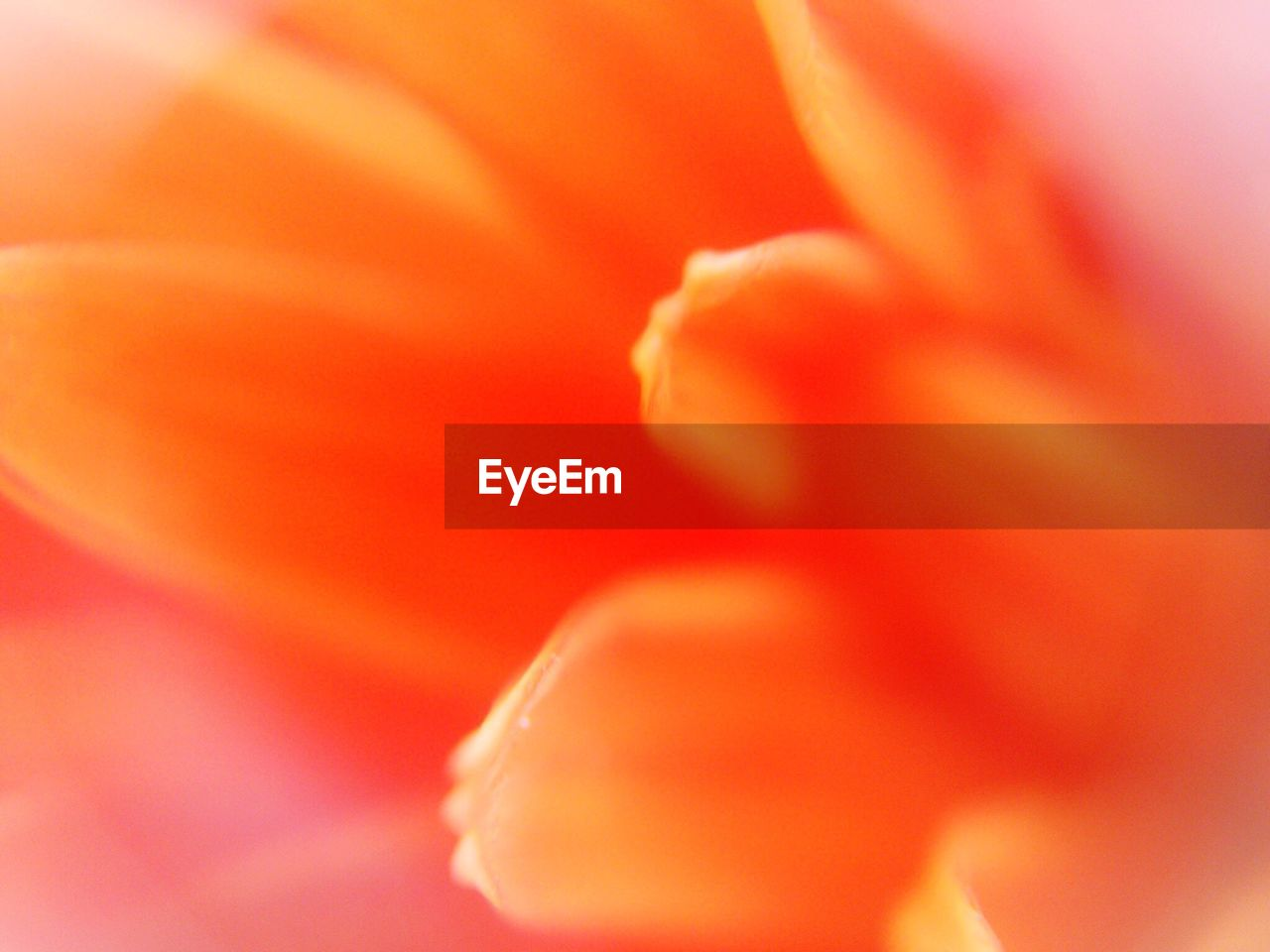 flower, petal, beauty in nature, nature, full frame, backgrounds, flower head, freshness, fragility, growth, macro, no people, close-up, soft focus, selective focus, blooming, plant, stamen, outdoors, day lily, day