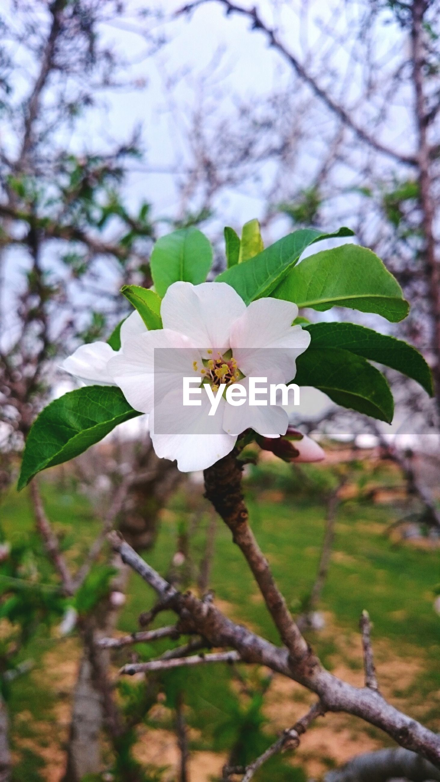 flower, freshness, growth, fragility, white color, petal, branch, tree, focus on foreground, beauty in nature, flower head, close-up, nature, blossom, blooming, pollen, in bloom, cherry blossom, stamen, springtime