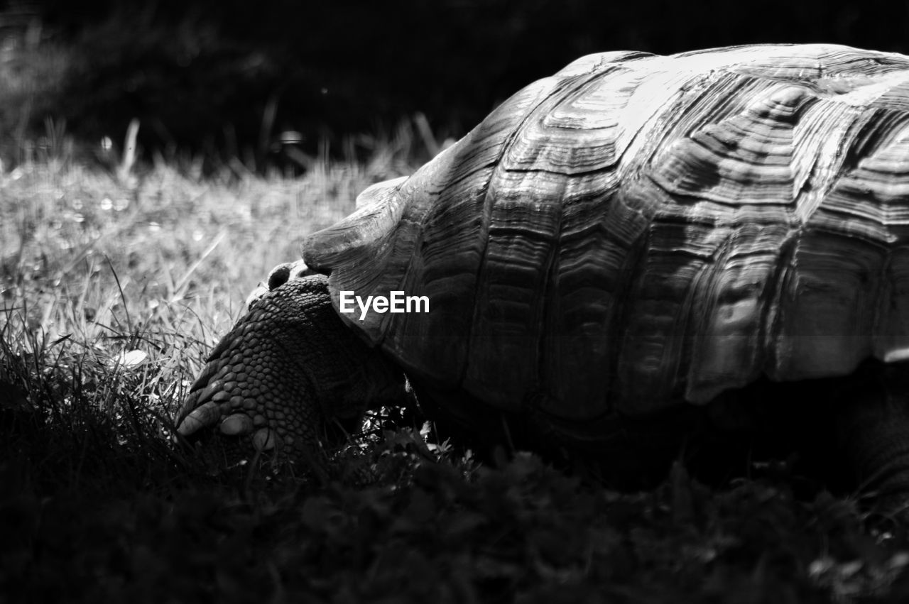reptile, animal, shell, animal themes, animals in the wild, animal wildlife, turtle, one animal, animal shell, vertebrate, tortoise, selective focus, nature, close-up, no people, field, land, day, tortoise shell, plant