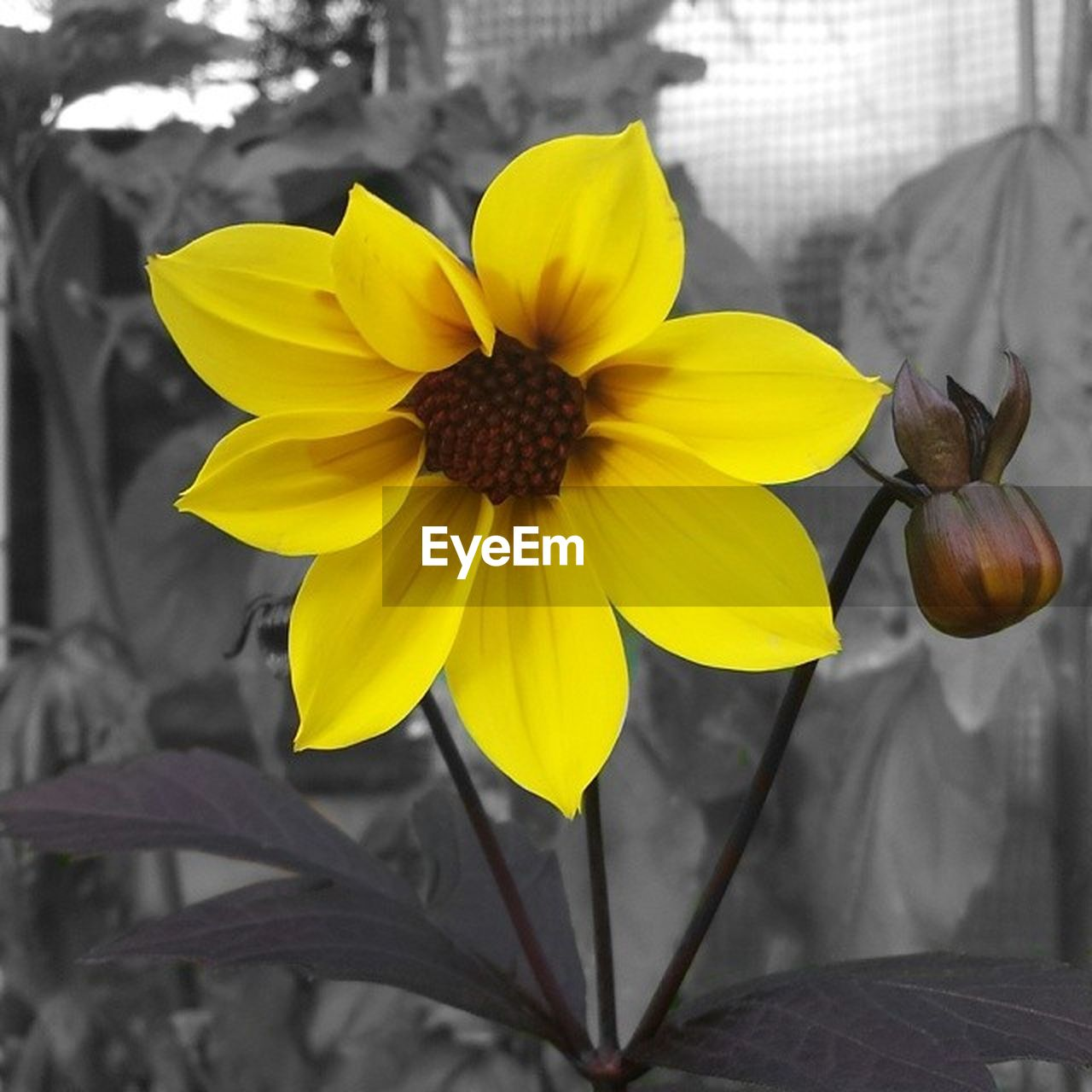 flower, petal, fragility, flower head, yellow, growth, freshness, blooming, no people, close-up, beauty in nature, day, nature, plant, focus on foreground, outdoors, black-eyed susan