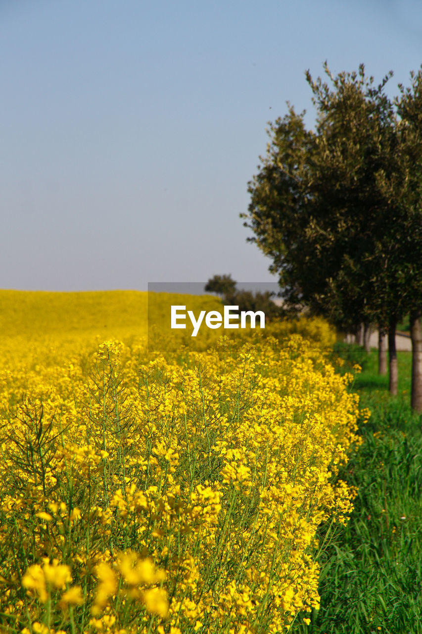 yellow, plant, beauty in nature, field, flower, growth, land, landscape, flowering plant, sky, oilseed rape, freshness, agriculture, rural scene, tranquility, scenics - nature, nature, clear sky, tranquil scene, environment, no people, outdoors, springtime