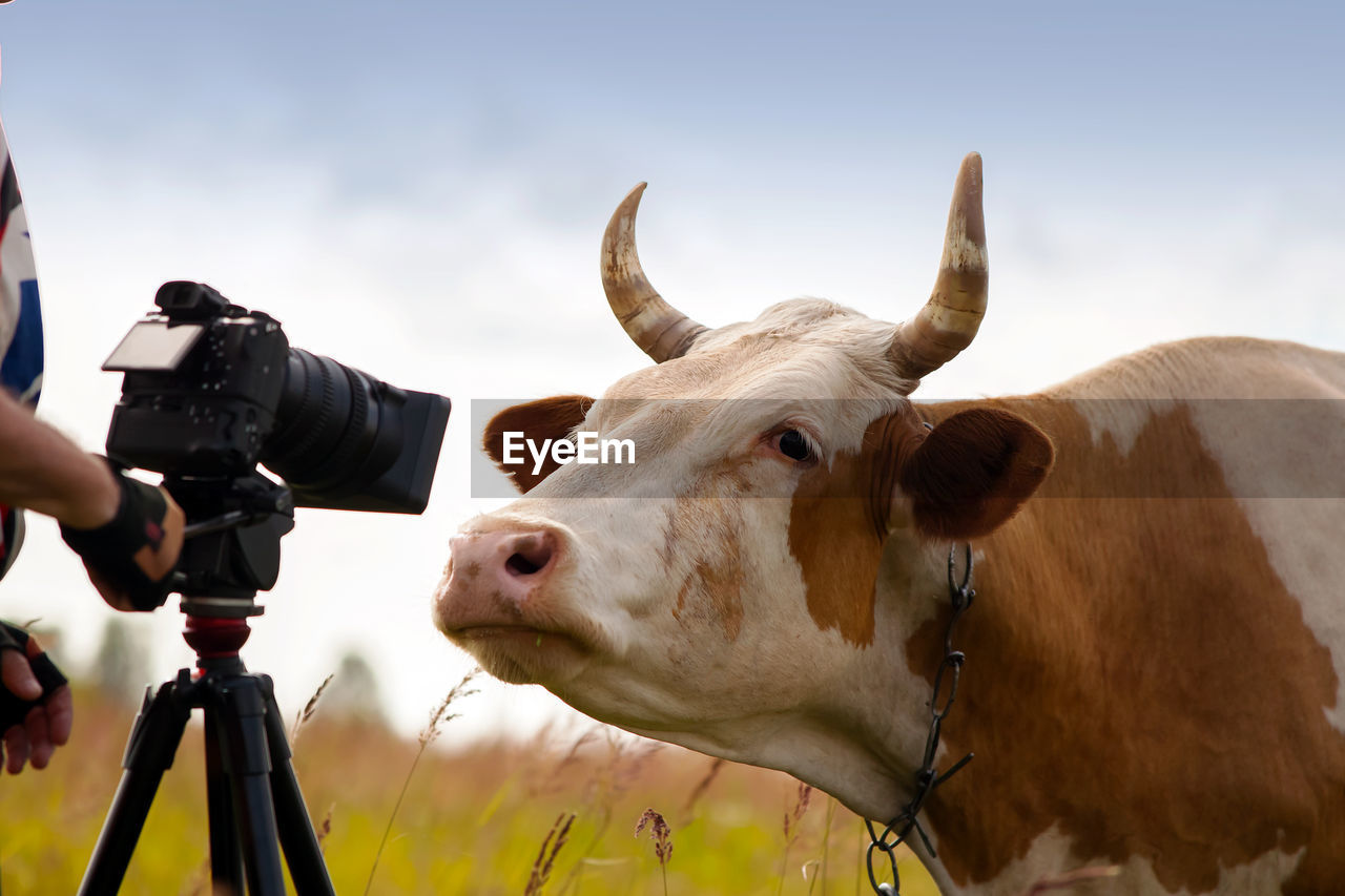 Cow with tripod and camera on field