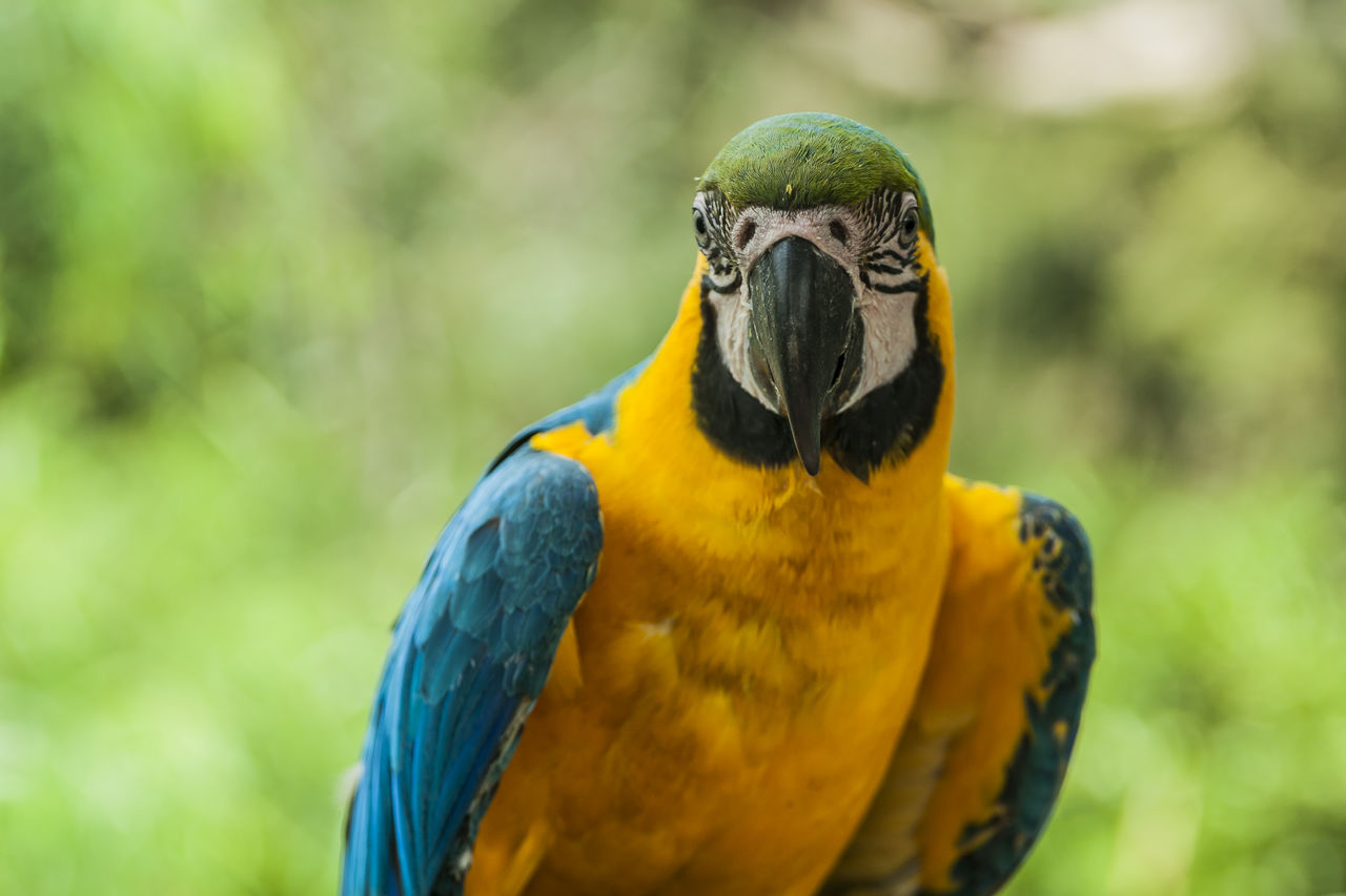 animal themes, animal wildlife, bird, animal, vertebrate, one animal, parrot, animals in the wild, macaw, focus on foreground, gold and blue macaw, close-up, day, nature, no people, beak, yellow, outdoors, multi colored, beauty in nature