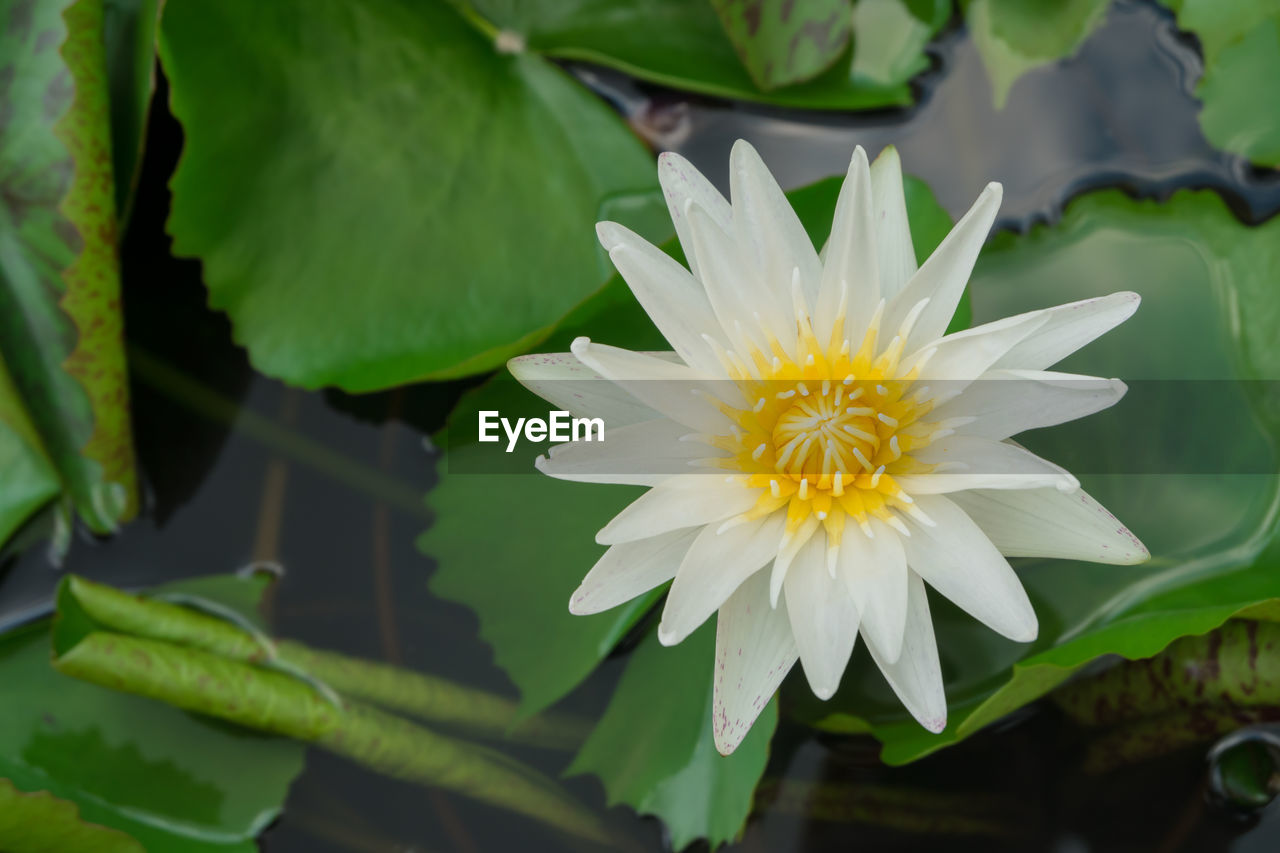 High angle view of white lotus water lily blooming in pond