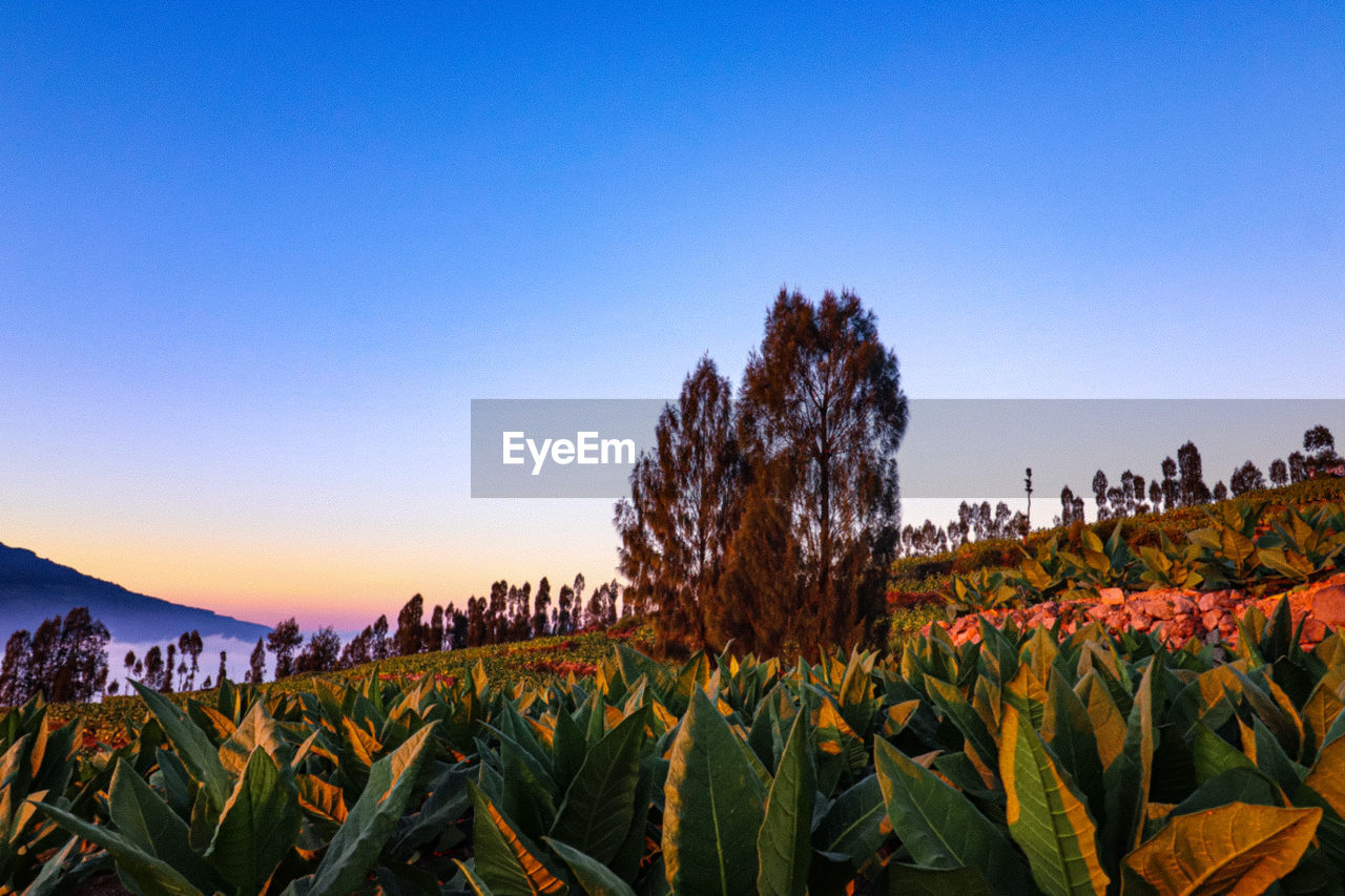 sky, plant, growth, beauty in nature, nature, copy space, land, clear sky, field, tranquility, scenics - nature, no people, blue, agriculture, day, landscape, crop, freshness, leaf, environment, outdoors, plantation