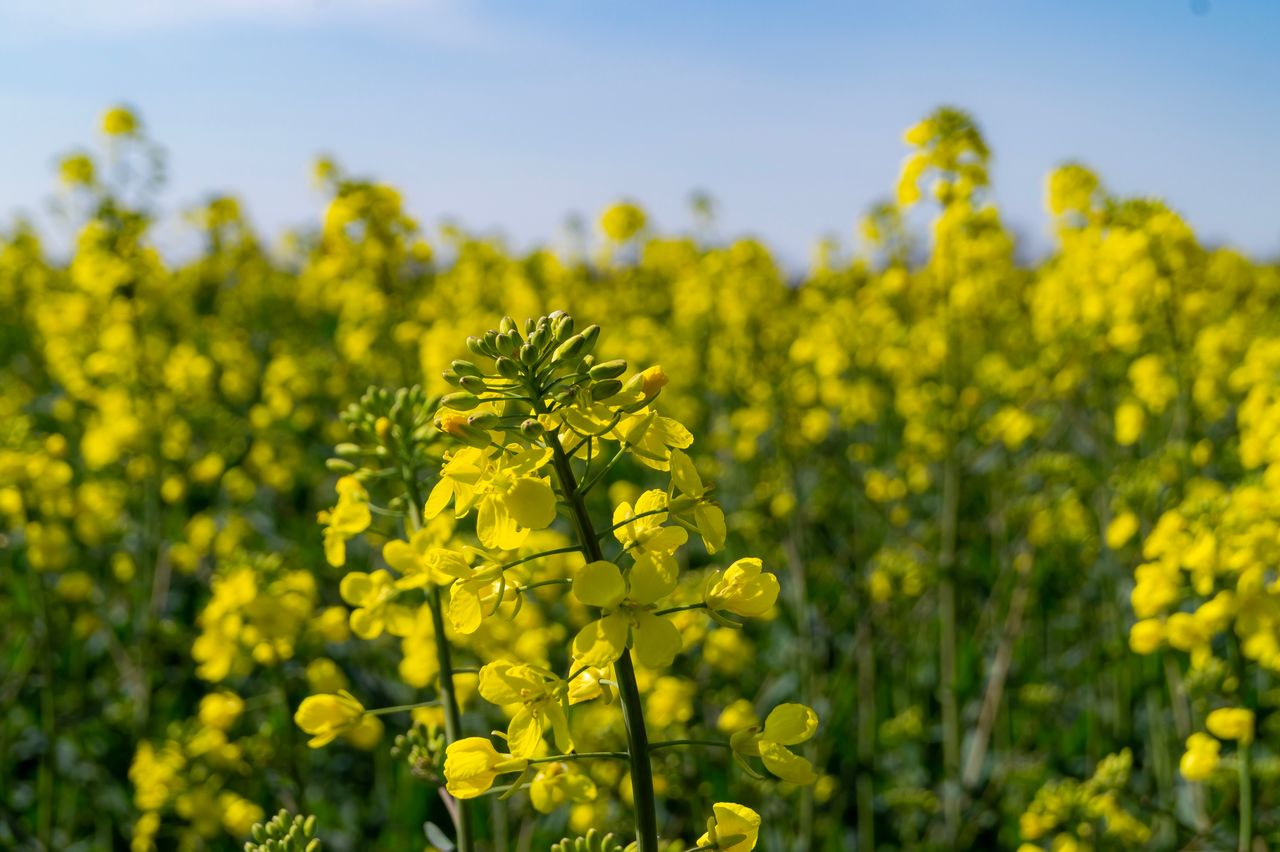 yellow, growth, plant, flower, beauty in nature, flowering plant, oilseed rape, nature, freshness, field, fragility, agriculture, vulnerability, crop, day, land, mustard plant, sky, farm, close-up, no people, outdoors, springtime